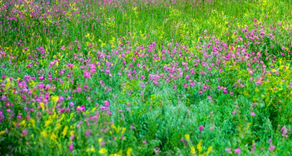 Wildflower Seed Mix for Acidic Soils