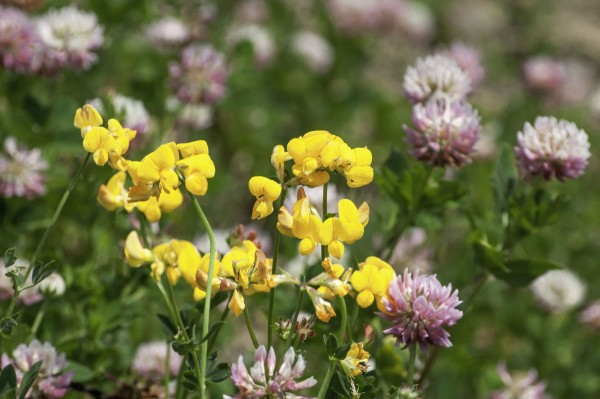 Wildflower Seed for Limestone and Chalk Soils