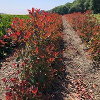 Instant Hedging - Photinia