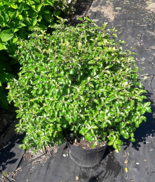 Pittosporum ten Gold Star