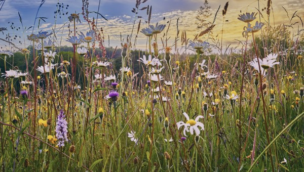 Wildflower Seed for Traditional Hay Meadow