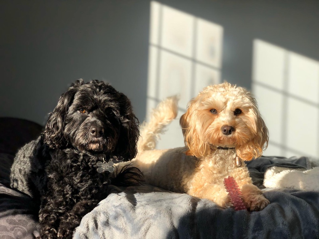 Benji and Ollie the cavapoos