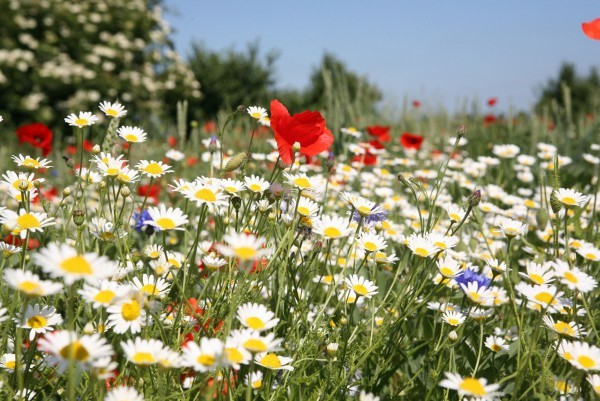 mixed wildflowers including oxeye daisy and poppy